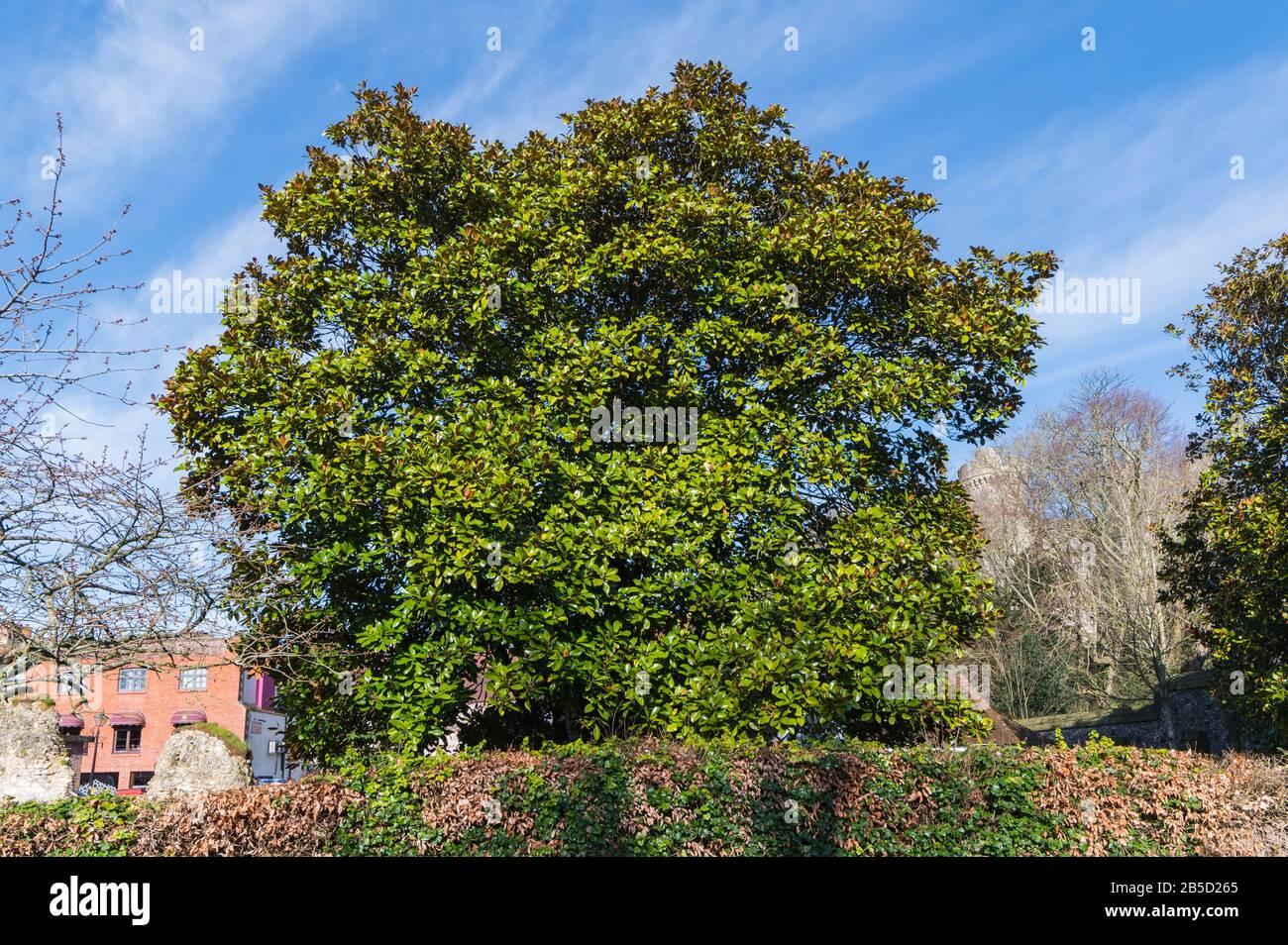 Magnolia grandiflora (árbol del sur de Magnolia o árbol de la bahía de Bull) árbol perenne que crece a principios de primavera en West Sussex, Inglaterra, Reino Unido. Foto de stock