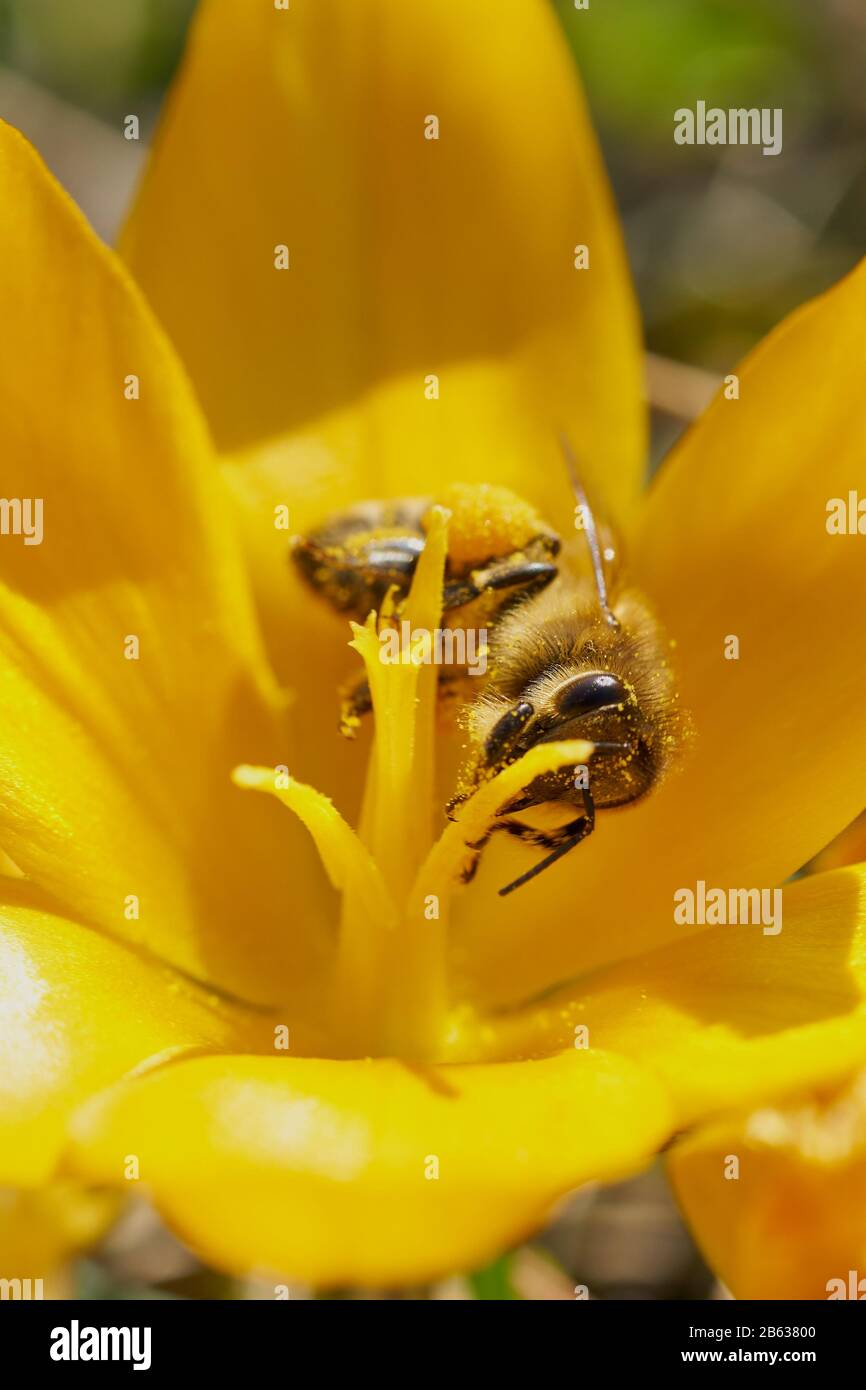 Miel de abejas recogiendo polen. Foto de stock