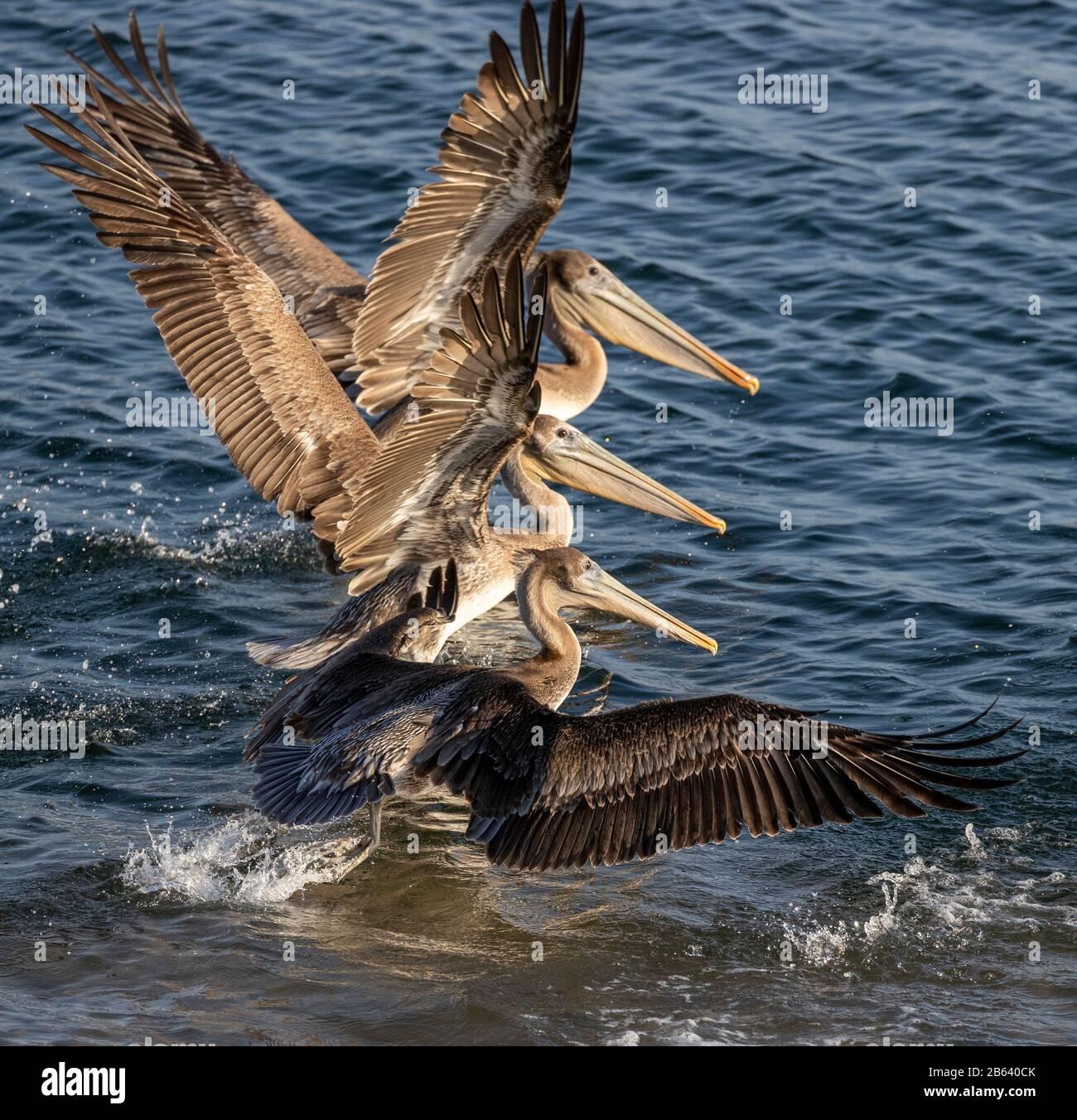 Trio De California Brown Pelicans Landing, Marina Del Rey, California Foto de stock