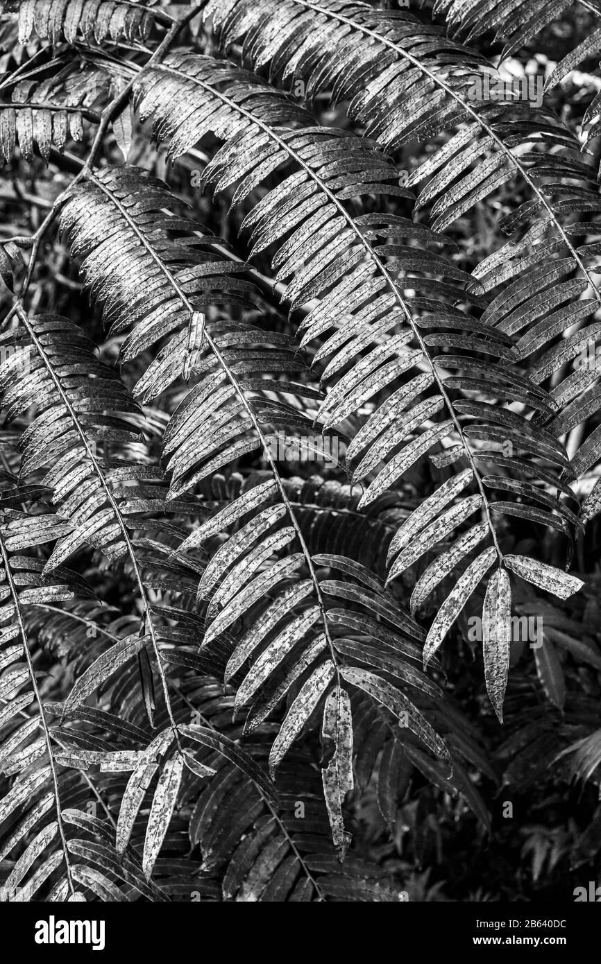 Elefante Fern, Jardín Botánico Tropical De Hawai Foto de stock