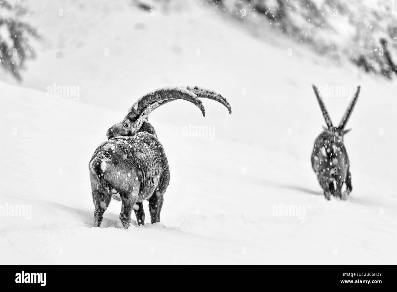 Dos Ibexes cruzan las montañas de los Alpes bajo la nieve (Capra ibex) Foto de stock
