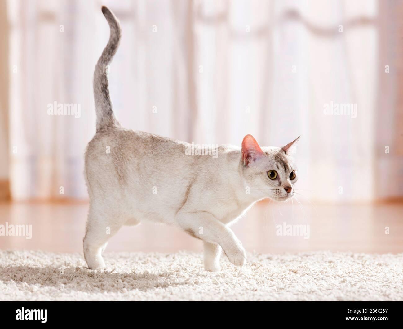 Gato birmano. Adulto en un apartamento, caminando sobre una alfombra. Alemania Foto de stock
