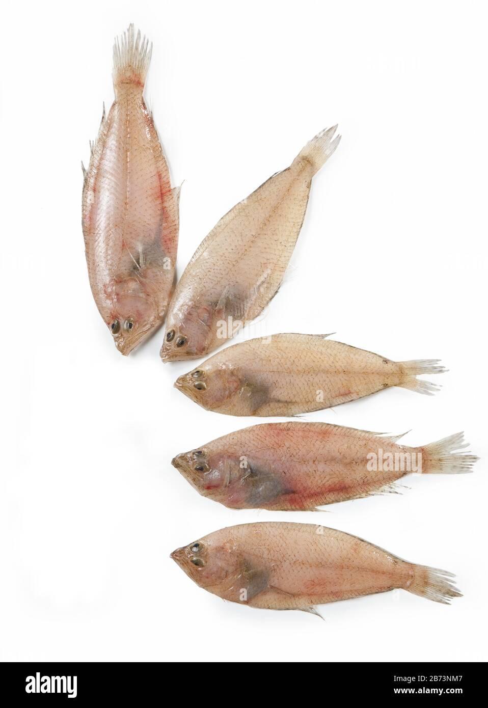 Platija europea, pez plano, Platichthys flesus, Pande, pescado mediterráneo, aislado sobre fondo blanco Foto de stock