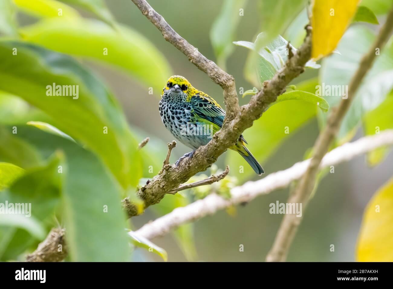 Un tanager moteado (Tangara guttata) se encuentra en una rama de las montañas Talamanca de Costa Rica. Foto de stock