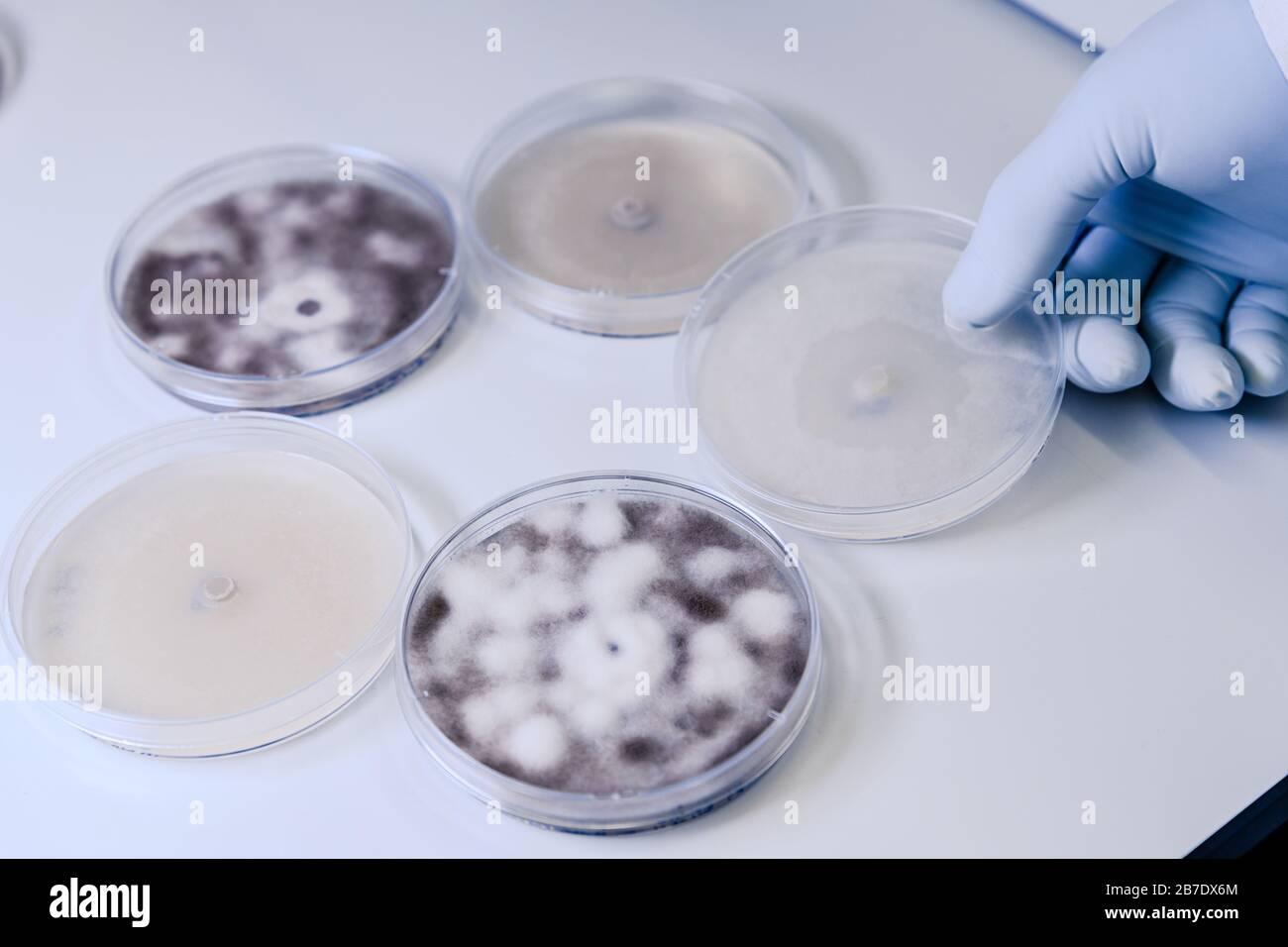 Manipulación científica cultivos microbiológicos en una placa de Petri para la investigación de biociencias farmacéuticas. Concepto de ciencia, laboratorio y estudio de la disea Foto de stock