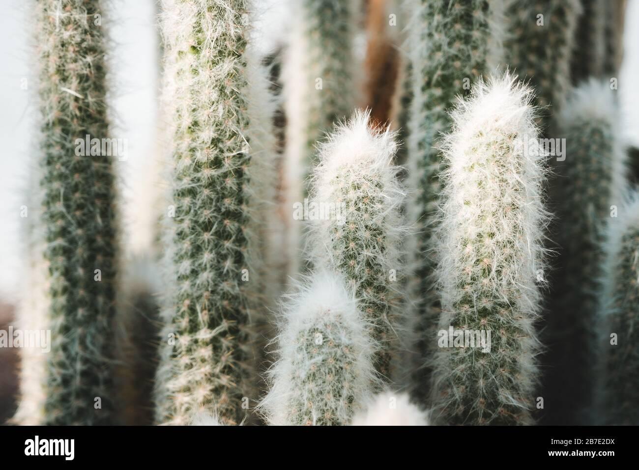 Especies de cactus columnares peruanos: Old Man o Cotton Ball o Snowball Cactus o Wooly Espostoa (Espostoa Lanata var. Sericata) Foto de stock
