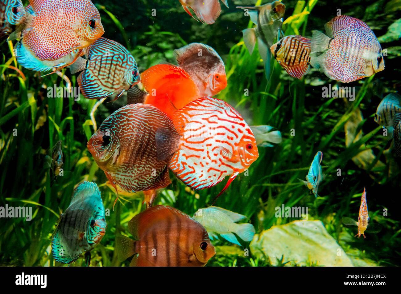 peces discus en acuario, peces tropicales. Symphysodon disco del río Amazonas. Diamante azul, piel de serpiente, turquesa rojo y mucho más Foto de stock