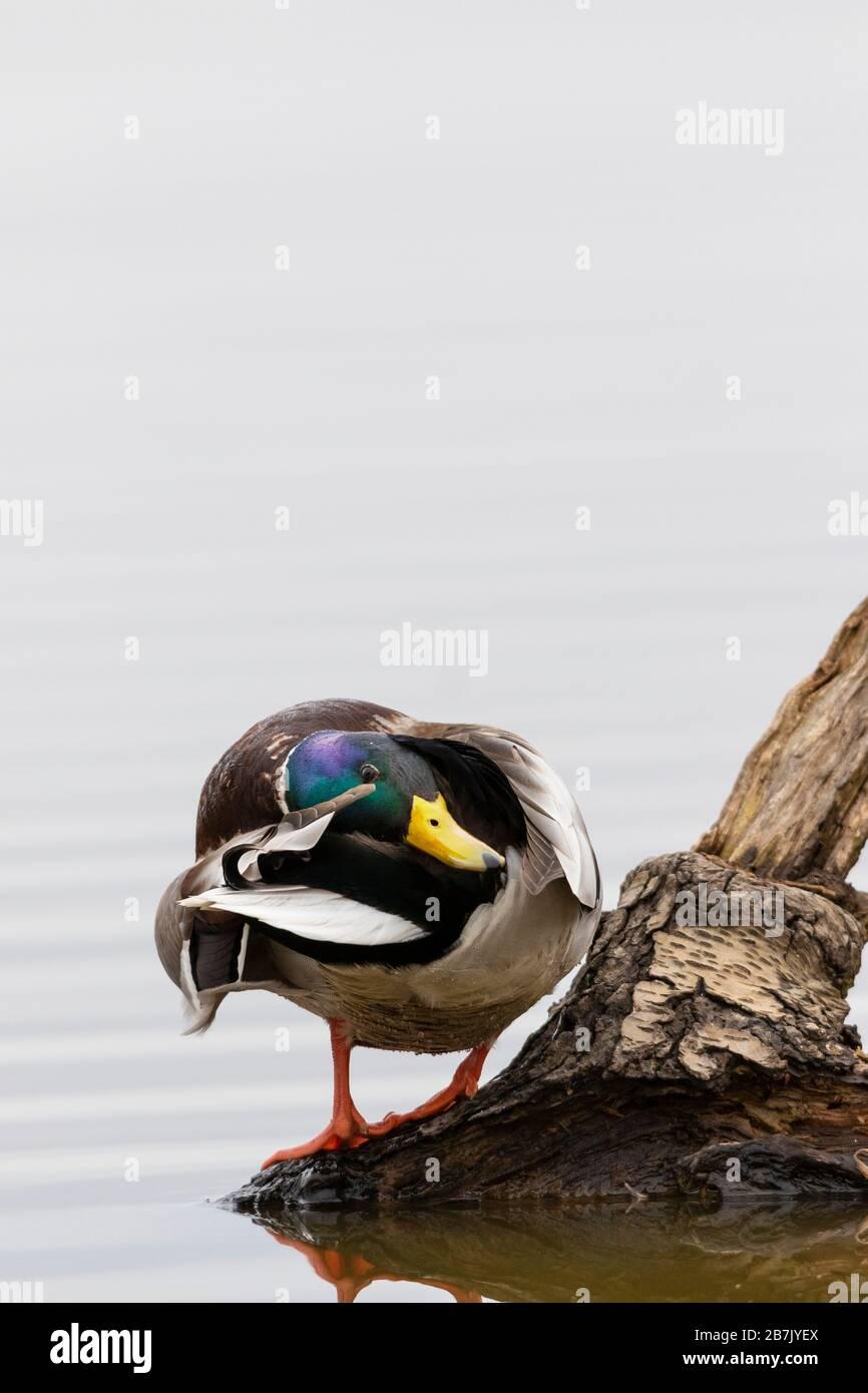 00729-02501 Mallard (Anas platyrhynchos) macho preening en el registro en el humedal Marion Co. IL Foto de stock