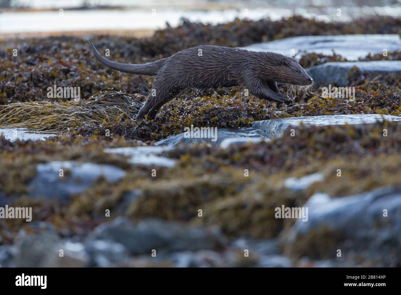 Una nutria euroasiática (lutra lutra) en tierra seca junto a un lago marino, en la Isla de Mull, Escocia. Foto de stock