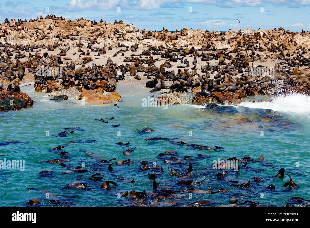 Miles de focas en la Reserva de la Isla Dyer frente a la costa sudafricana Foto de stock