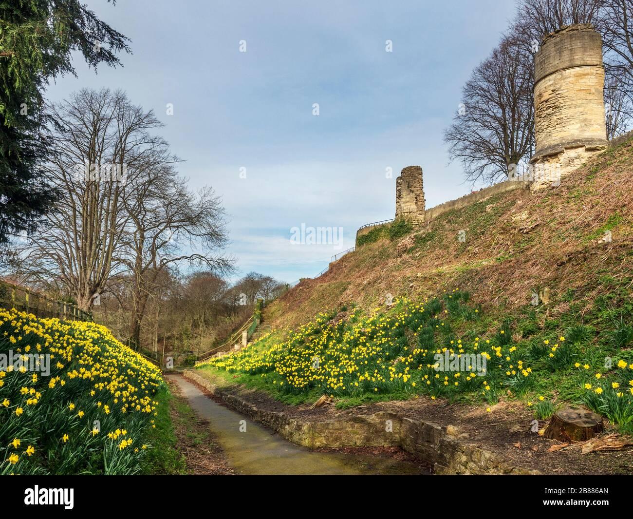 Narcisos en el foso debajo de las torres arruinadas en el Castillo de Knaresborough en Knaresborough North Yorkshire Inglaterra Foto de stock