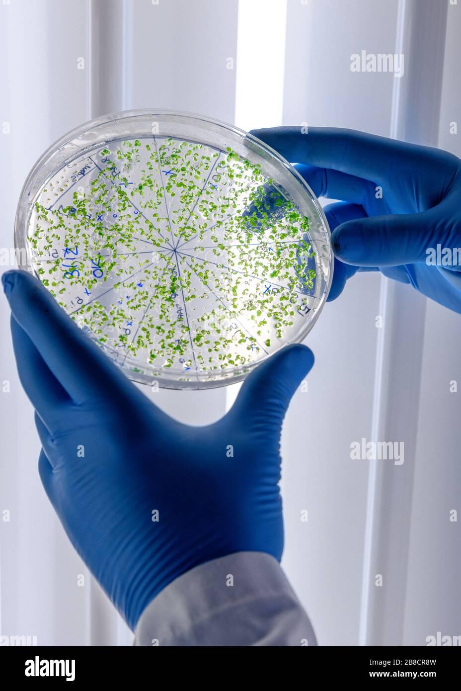 Cultivos de manipulación científica en placas de Petri en refrigeradores de laboratorio de biociencia. Concepto de ciencia, laboratorio y estudio de enfermedades. Coronavirus Foto de stock