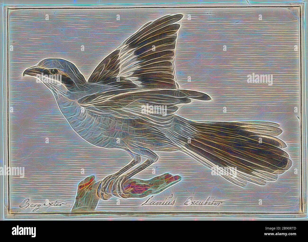 Lanius excubitor, Print, la gran gambas gris (Lanius excubitor), conocida como la gambas del norte de América del Norte, es una gran especie de aves canoras de la familia de los gambas (Laniidae). Forma una superespecie con sus parientes parátricos del sur, el camarón gris ibérico (L. meridionalis), el camarón gris chino (L. sphenocerus) y el camarón de cabeza de cengala (L. ludovicianus). Los machos y las hembras son similares en plumaje, de color gris nacarado por encima con una máscara de ojos negra y bajo las partes blancas., 1753-1834, Reimaged by Gibon, diseño de brillo alegre cálido y rayos de luz. Arte clásico reinventado w Foto de stock