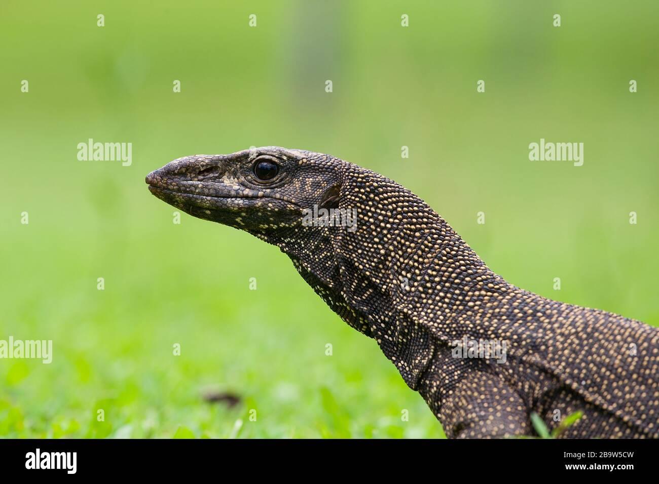 Monitor Lizard en Pulau Tioman Foto de stock