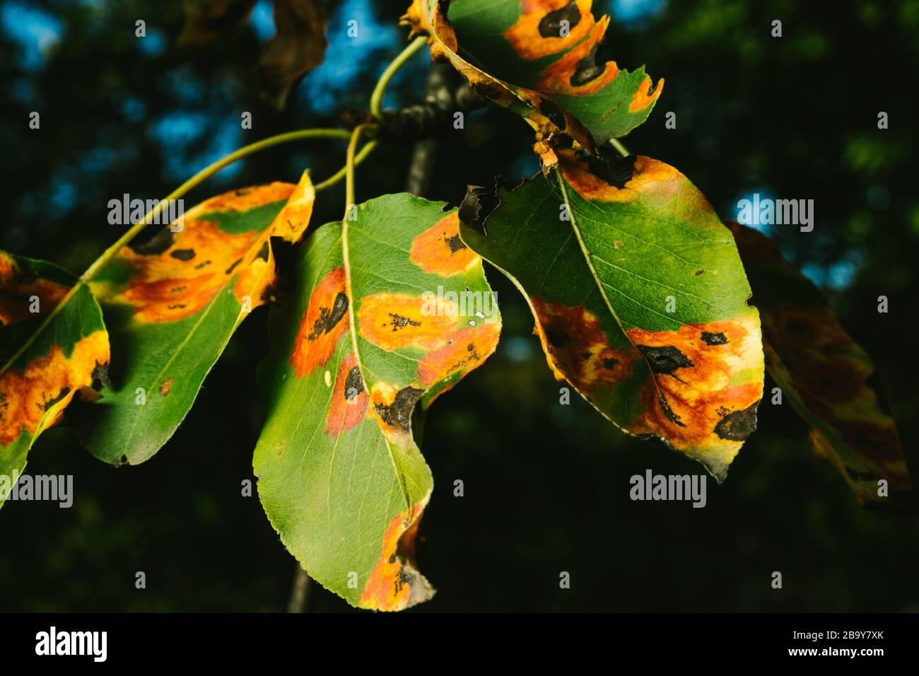 Manchas rojas en las hojas de pera. El árbol está enfermo con un hongo Foto de stock