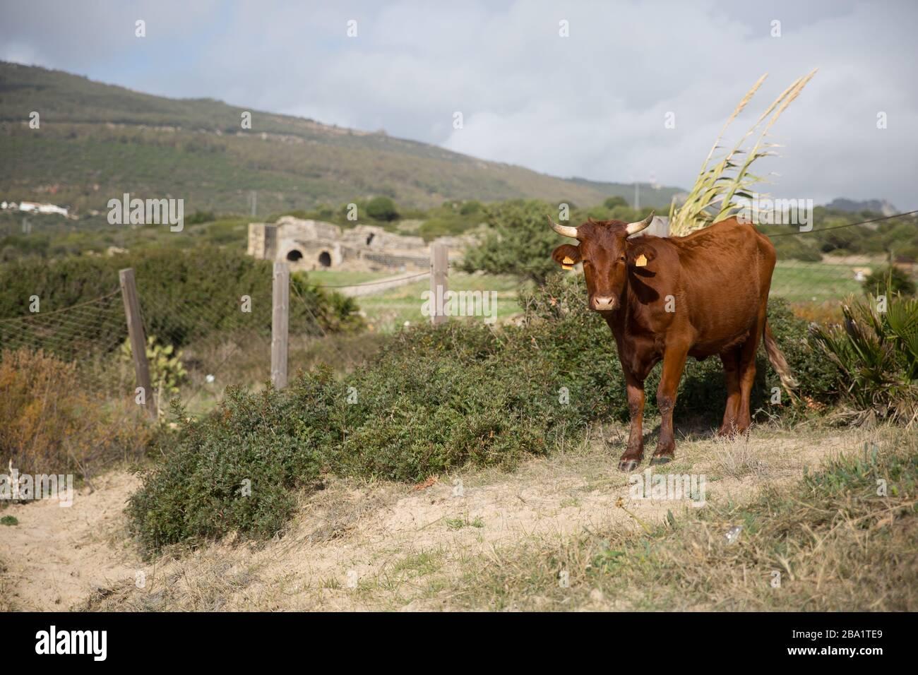 Un Marrón Corente ganado Breed con dos cuernos de pie con una vista montañosa de la montaña Foto de stock