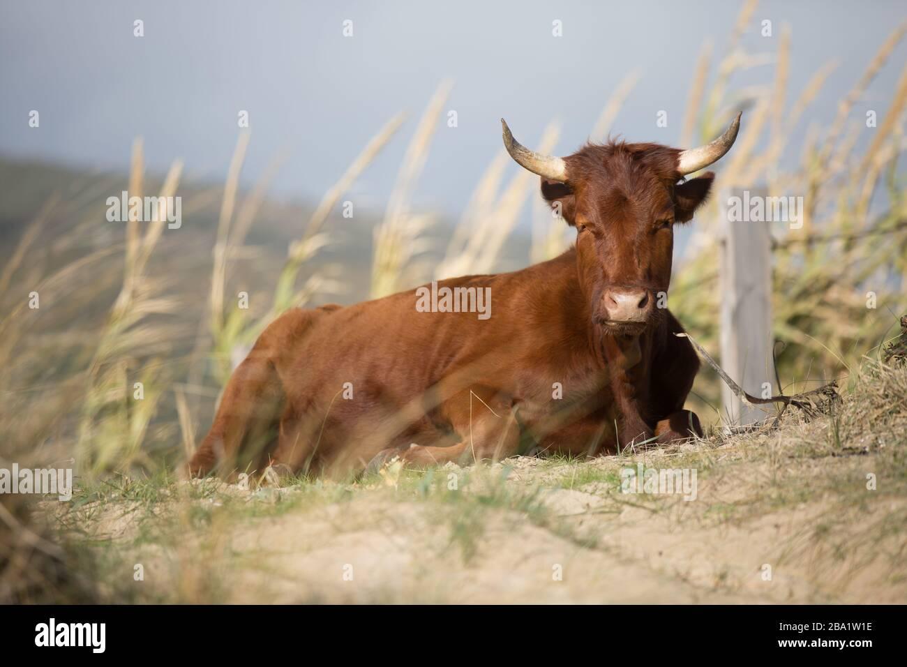 Un Marrón Corente ganado Breed con dos cuernos sentado en un prado Foto de stock