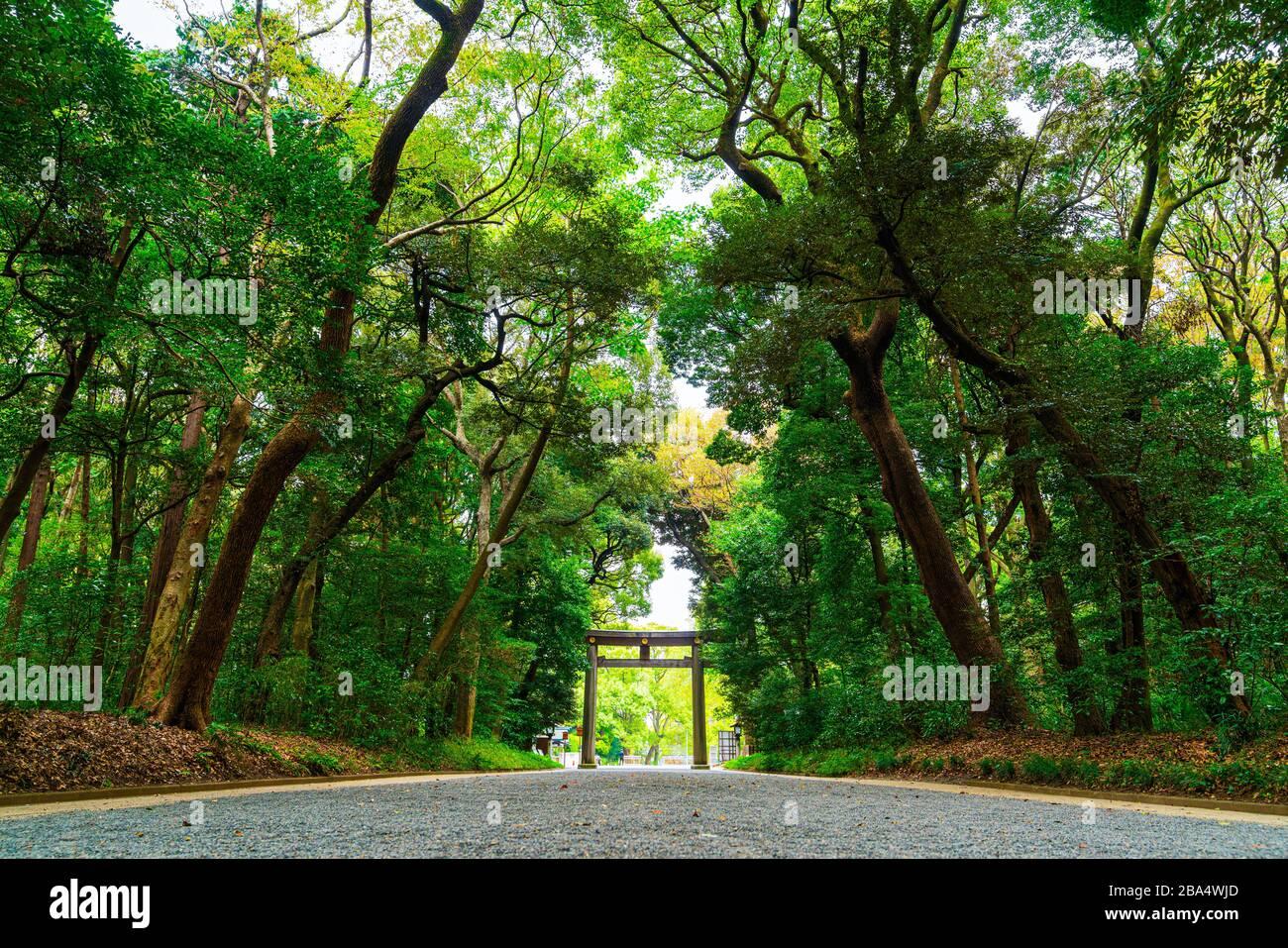La avenida bordeada de árboles gingko que conduce a la Torii, puerta del santuario de Meiji Jingu, Tokoyo, Japón. Foto de stock