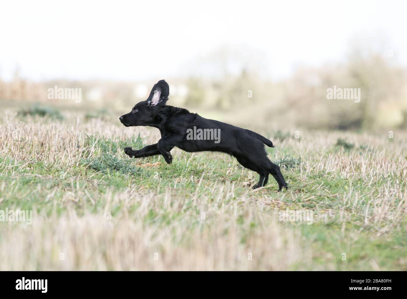 Negro trabajador cachorro spaniel Foto de stock