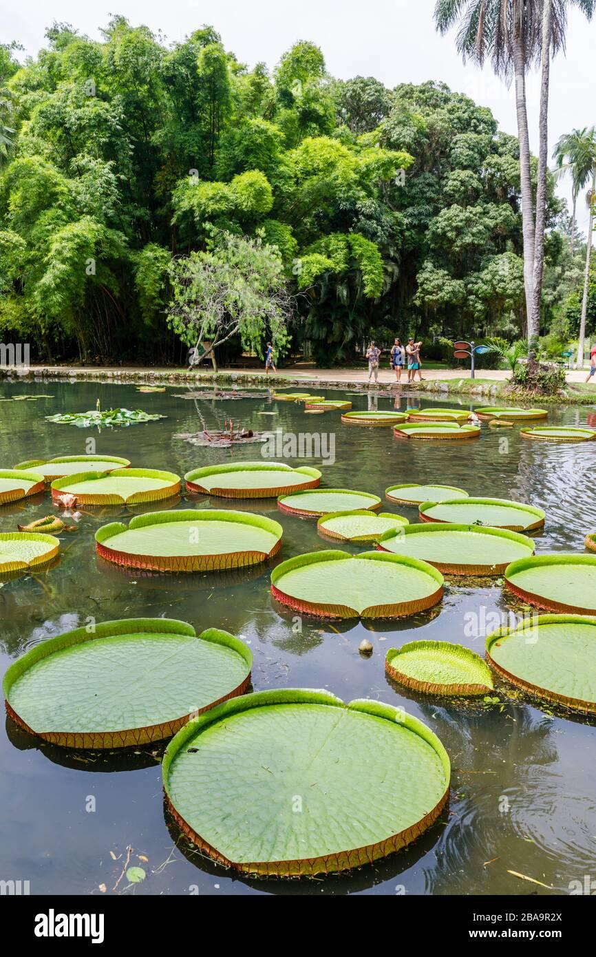 Grandes hojas verdes de lirios Victoria (Victoria amazonica), estanque Lago Frei Leandro, Jardín Botánico (Jardim Botanico), Zona Sur, Río de Janeiro Foto de stock