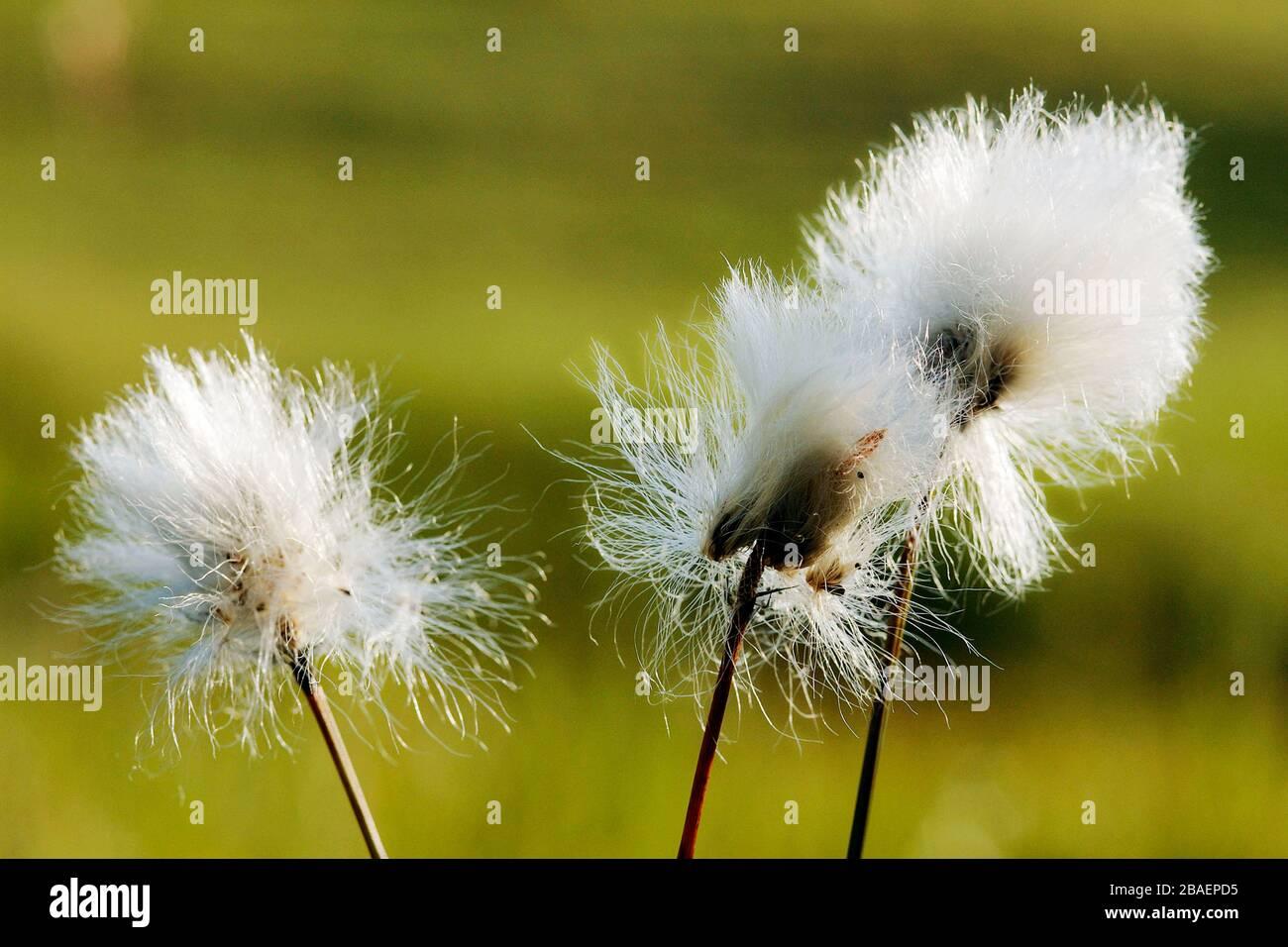 Scheidiges Wollgras (Eriophorum vaginatum) Foto de stock