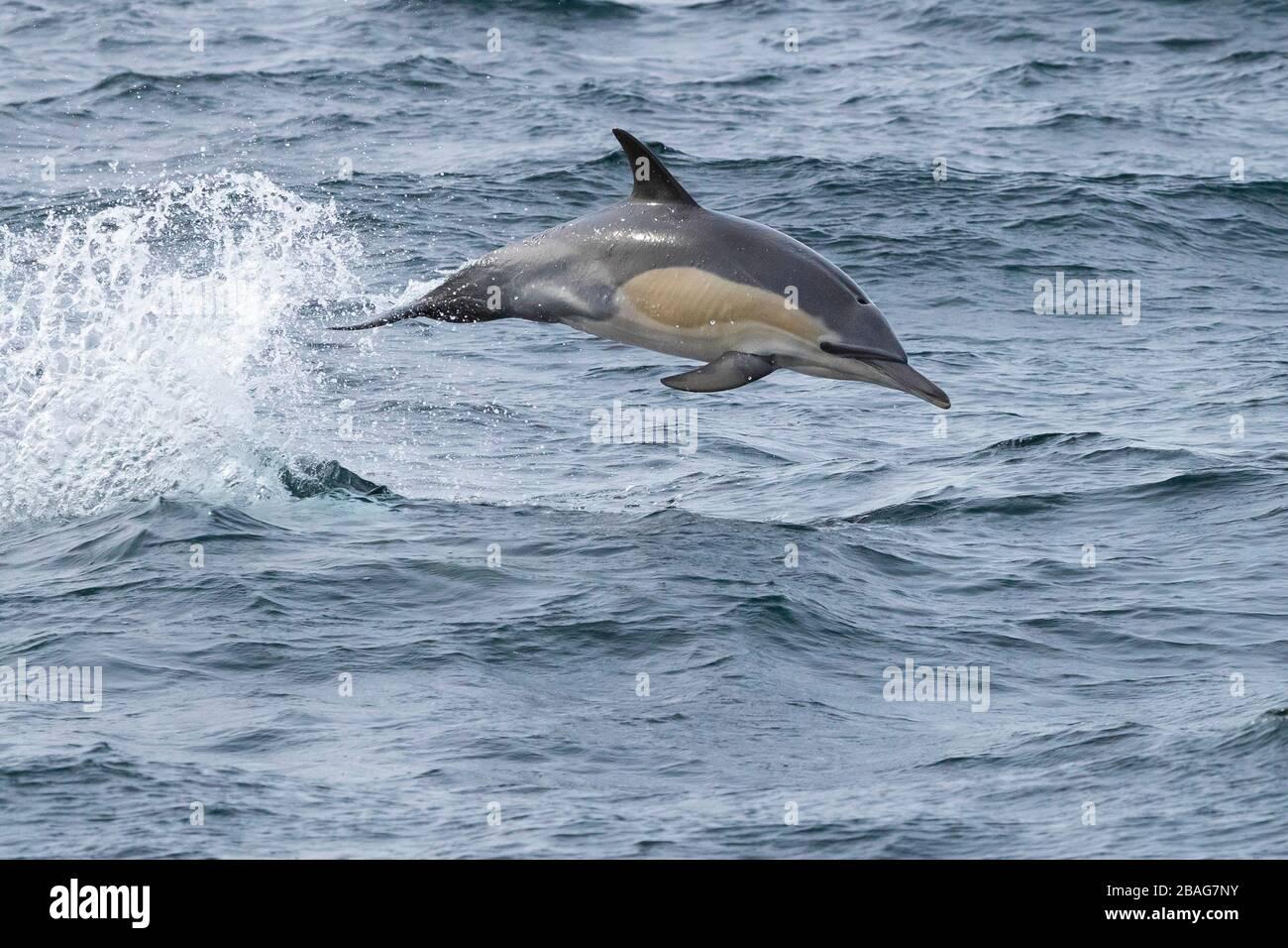 Delfín común de pico largo (Delphinus capensis), individual saltando del agua, Cabo Occidental, Sudáfrica Foto de stock