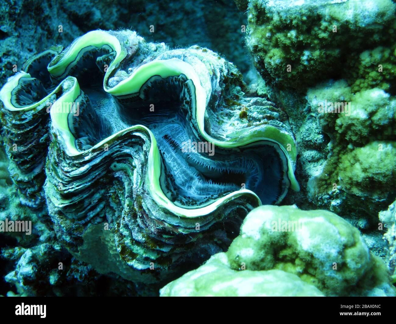 Schuppige Riesenmuschel - Tridacna squamosa Foto de stock