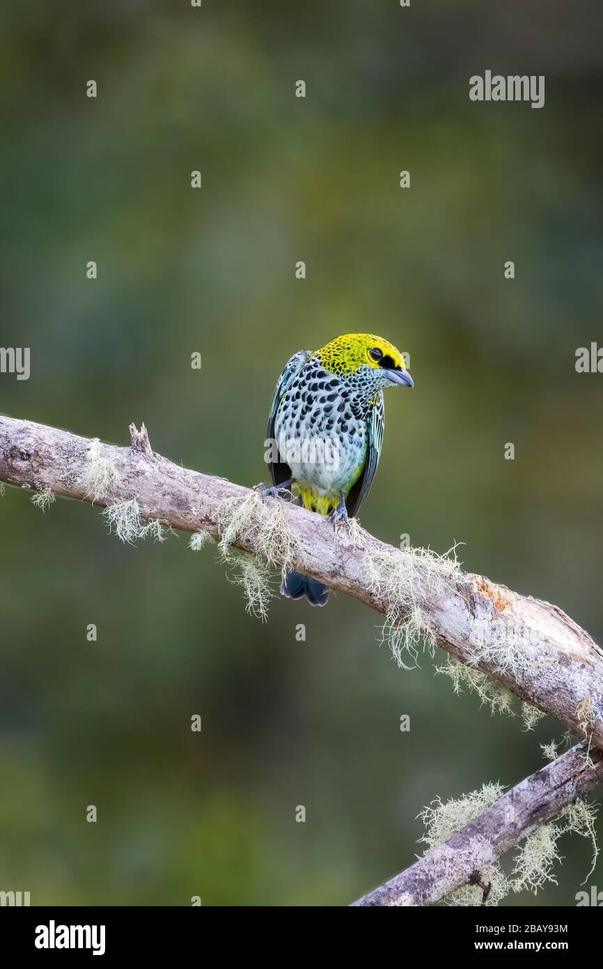 Un tanager moteado (Tangara guttata) encaramado en una rama en el bosque nublado de Costa Rica. Foto de stock