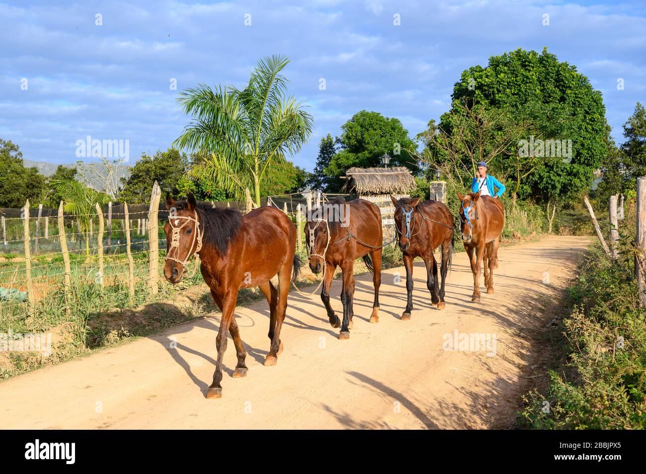 Hombre a caballo con cuerda de caballos, y campo de tabaco para cigarros, Vinales, Provincia Pinar del Río, Cuba Foto de stock
