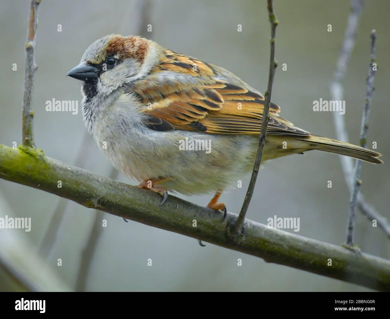 Sieversdorf, Alemania. 30 de marzo de 2020. Un gorrión de la casa (Passer domesticus). Crédito: Patrick Pleul/dpa-Zentralbild/ZB/dpa/Alamy Live News Foto de stock