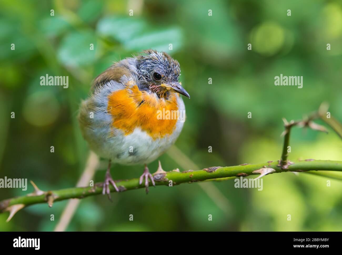 European Robin (Erithacus rubecula) en la muda, encaramado en una ramita en verano en West Sussex, Inglaterra, Reino Unido. Petirrojo moliendo, perdiendo plumas. Foto de stock