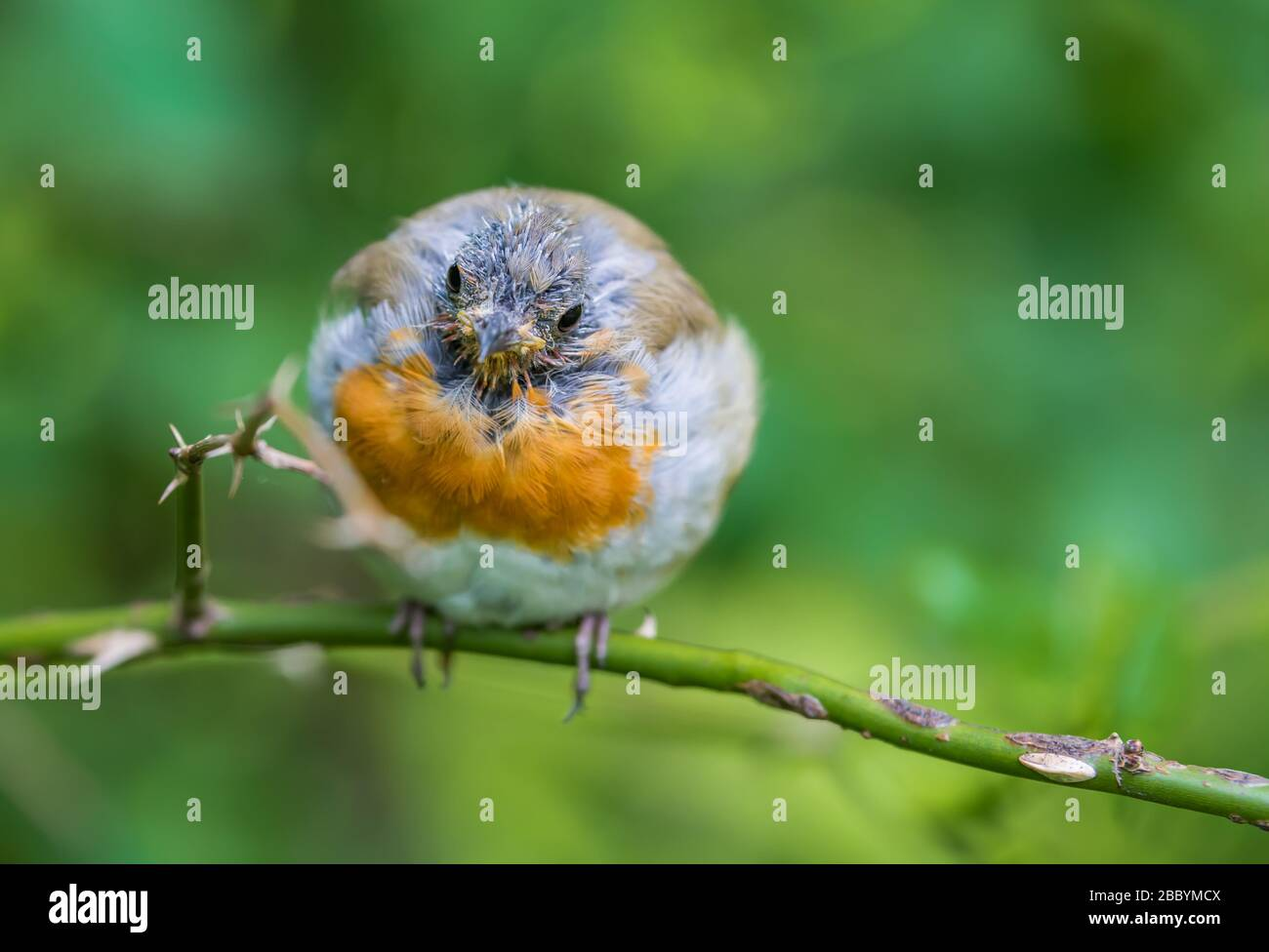 European Robin (Erithacus rubecula) en la muda, encaramado en una ramita en verano en West Sussex, Inglaterra, Reino Unido. Petirrojo moliendo, perdiendo plumas. Robin calvo. Foto de stock