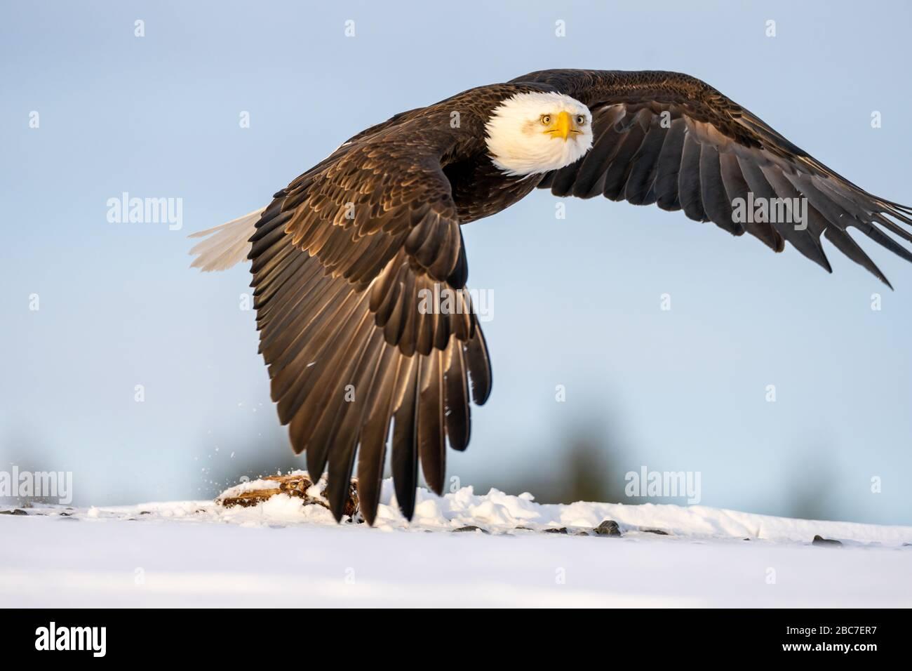 Águila calva (Haliaeetus leucocephalus) en Homer, Alaska Foto de stock