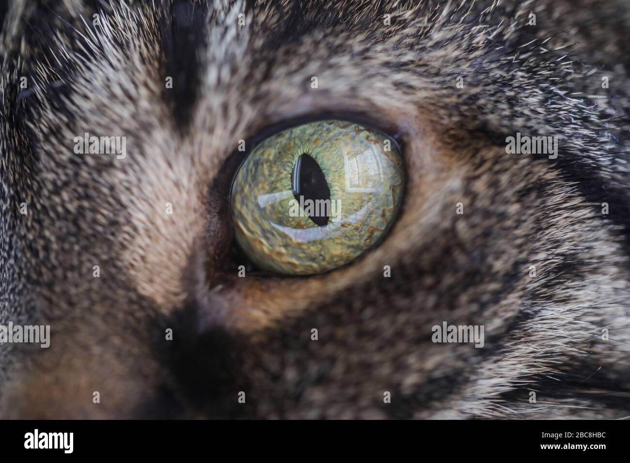 Imagen de primer plano con el ojo de un gato europeo shortair gris. Foto de stock