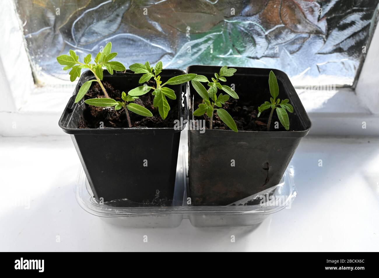 Plantas de tomate que crecen en macetas en un alféizar brillante (Gardeners Delight a la izquierda y Pomodoro a la derecha). Foto de stock