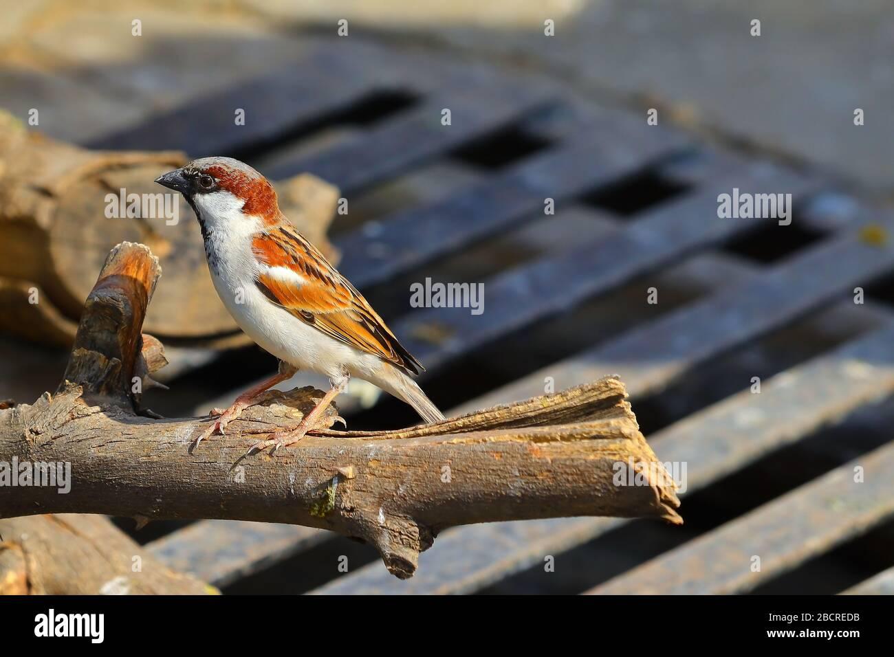 Aves domésticas de gorrión perching en madera seca Foto de stock