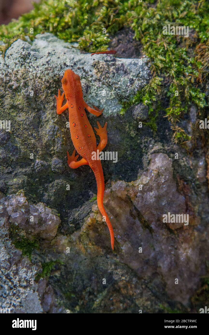 Newt. De topos rojos Foto de stock