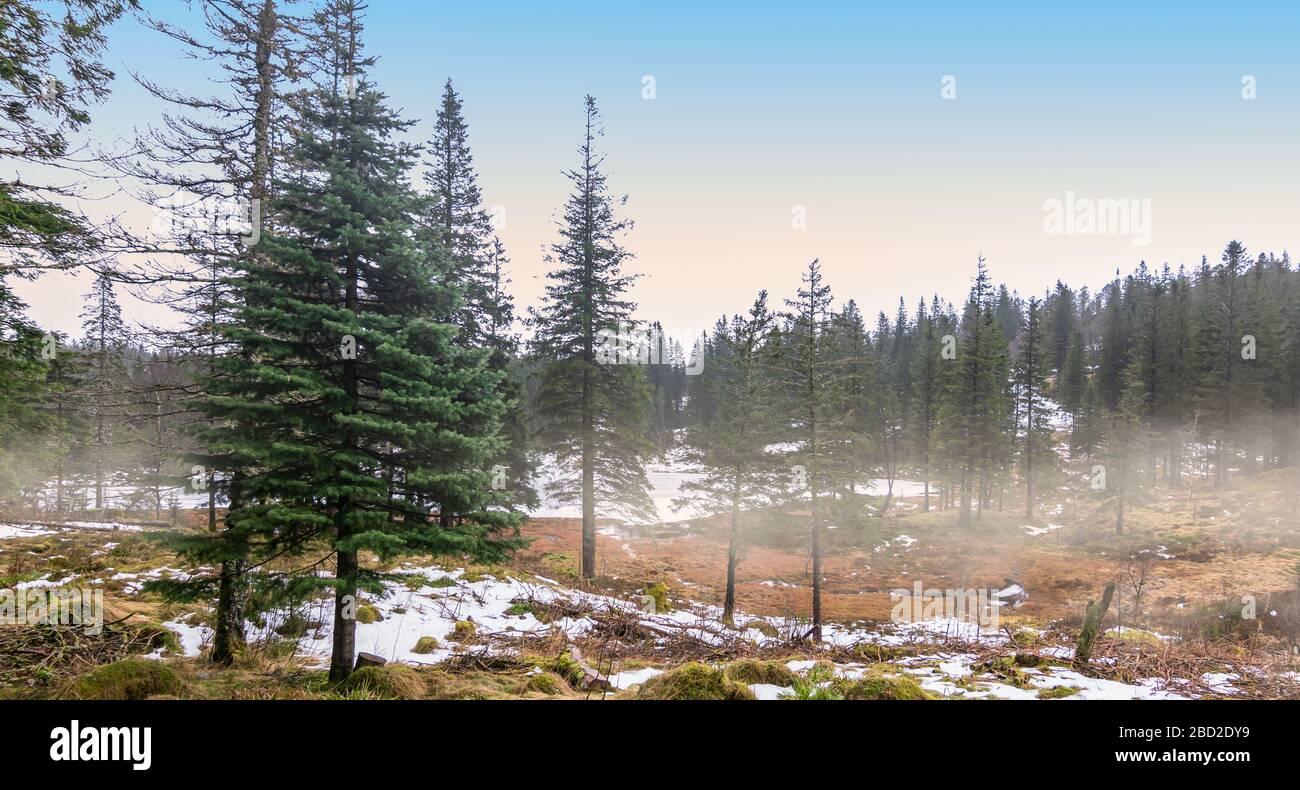 Paisaje forestal de pinos en Bergen, Noruega Foto de stock