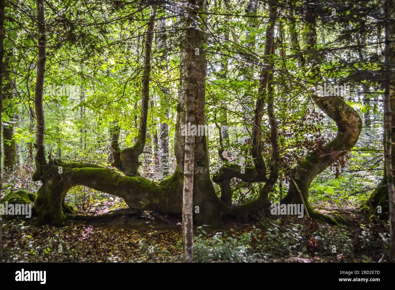 Árboles de forma extraña en el bosque, Corrèze, Francia. Foto de stock