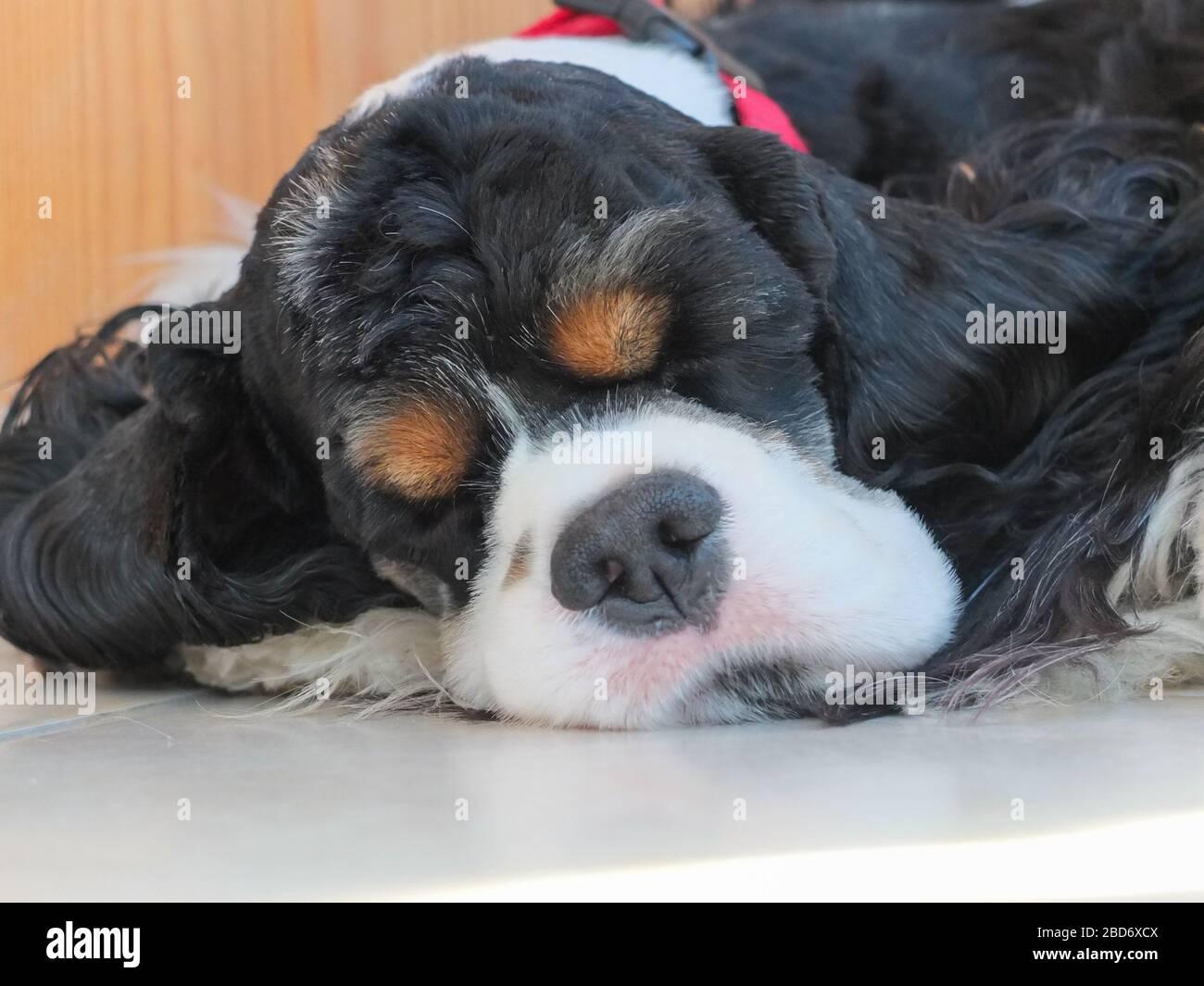 Black Cocker Spaniel Puppy Fotos E Imagenes De Stock Pagina 5 Alamy