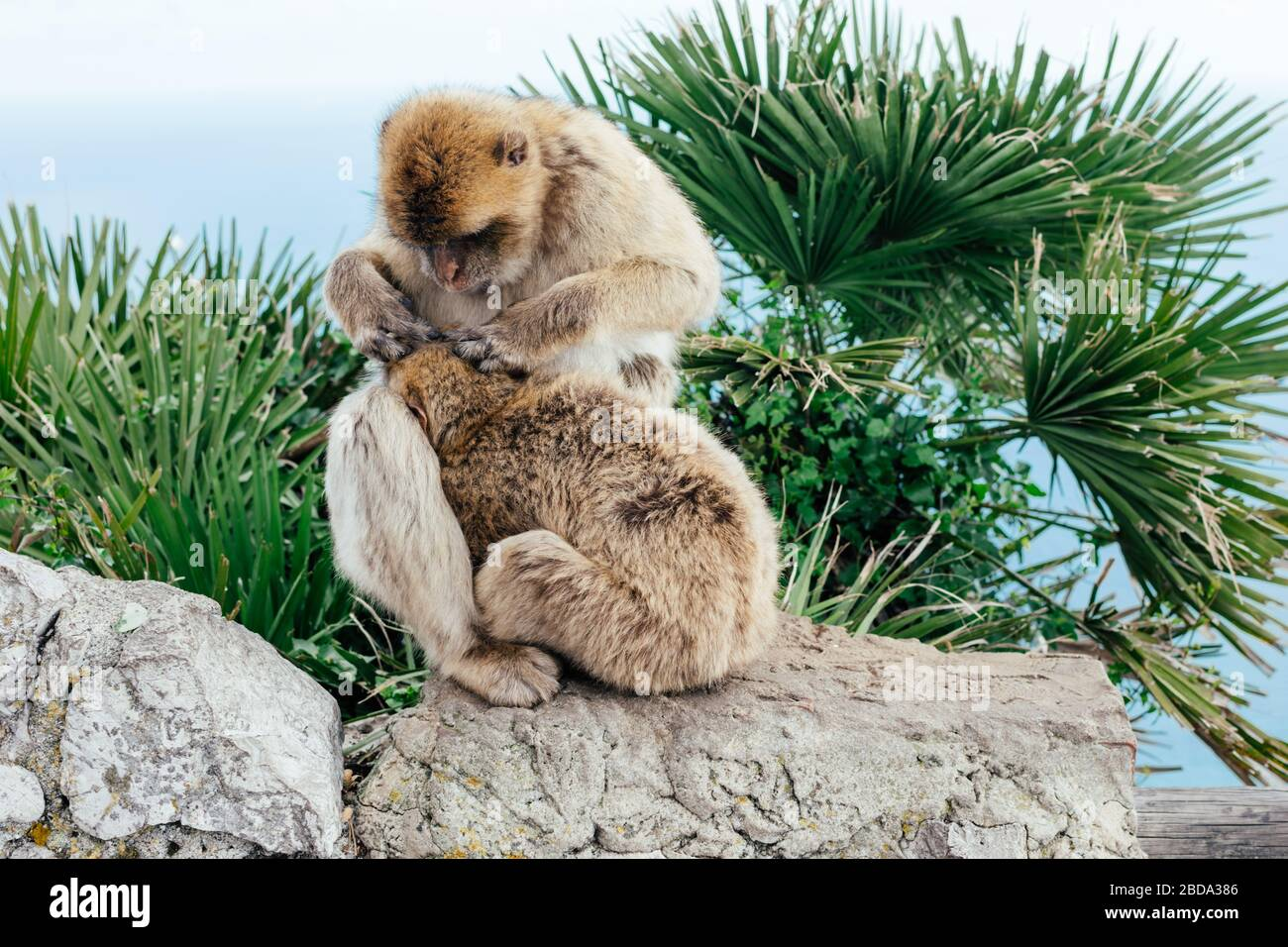 Vista de dos monos salvajes como macaque bárbaro que se arregla uno al otro en la cima de la Roca de Gibraltar. Colonia Británica Gibraltar. Foto de stock
