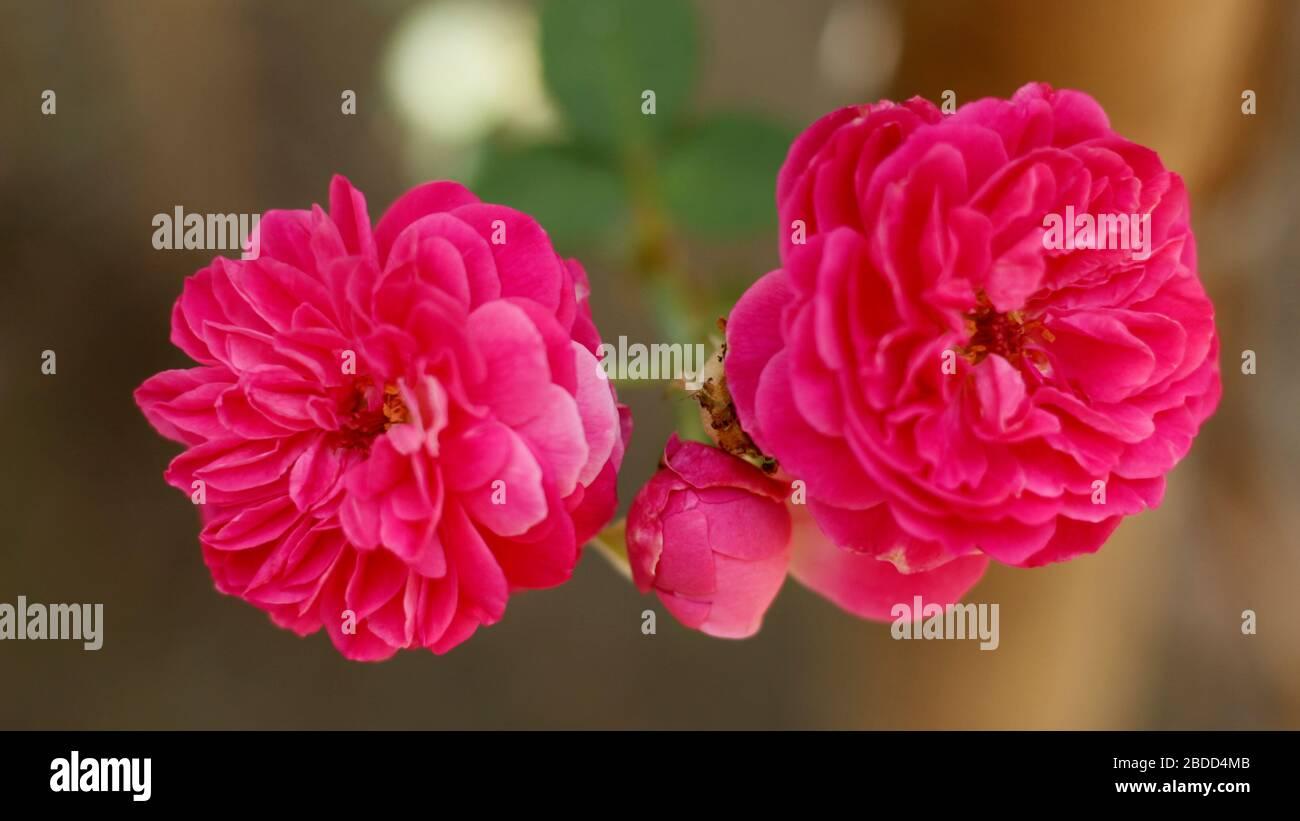 Flores de Rosa de Alta calidad en el Jardín de Casa de Pueblo Foto de stock