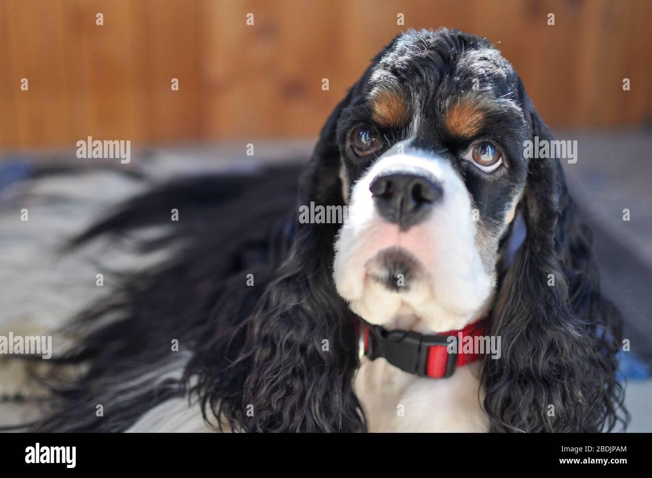 A Cocker Spaniel Puppy Fotos E Imagenes De Stock Pagina 5 Alamy