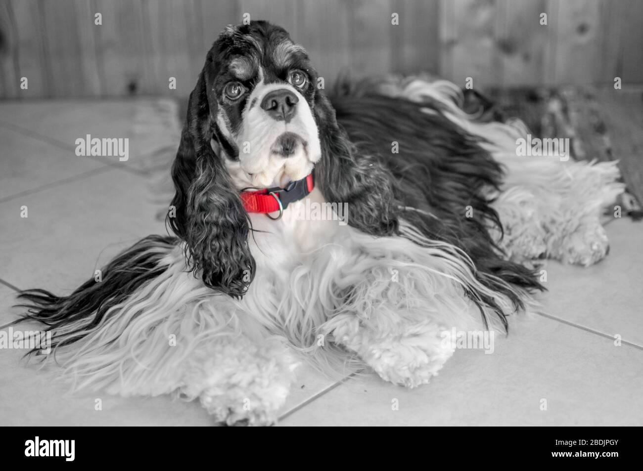 A Cocker Spaniel Puppy Fotos E Imagenes De Stock Pagina 9 Alamy