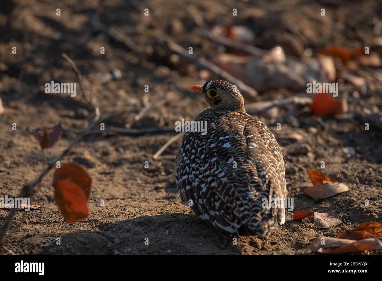 Lechada de arena masculina situada en un bosque de mopanos Foto de stock