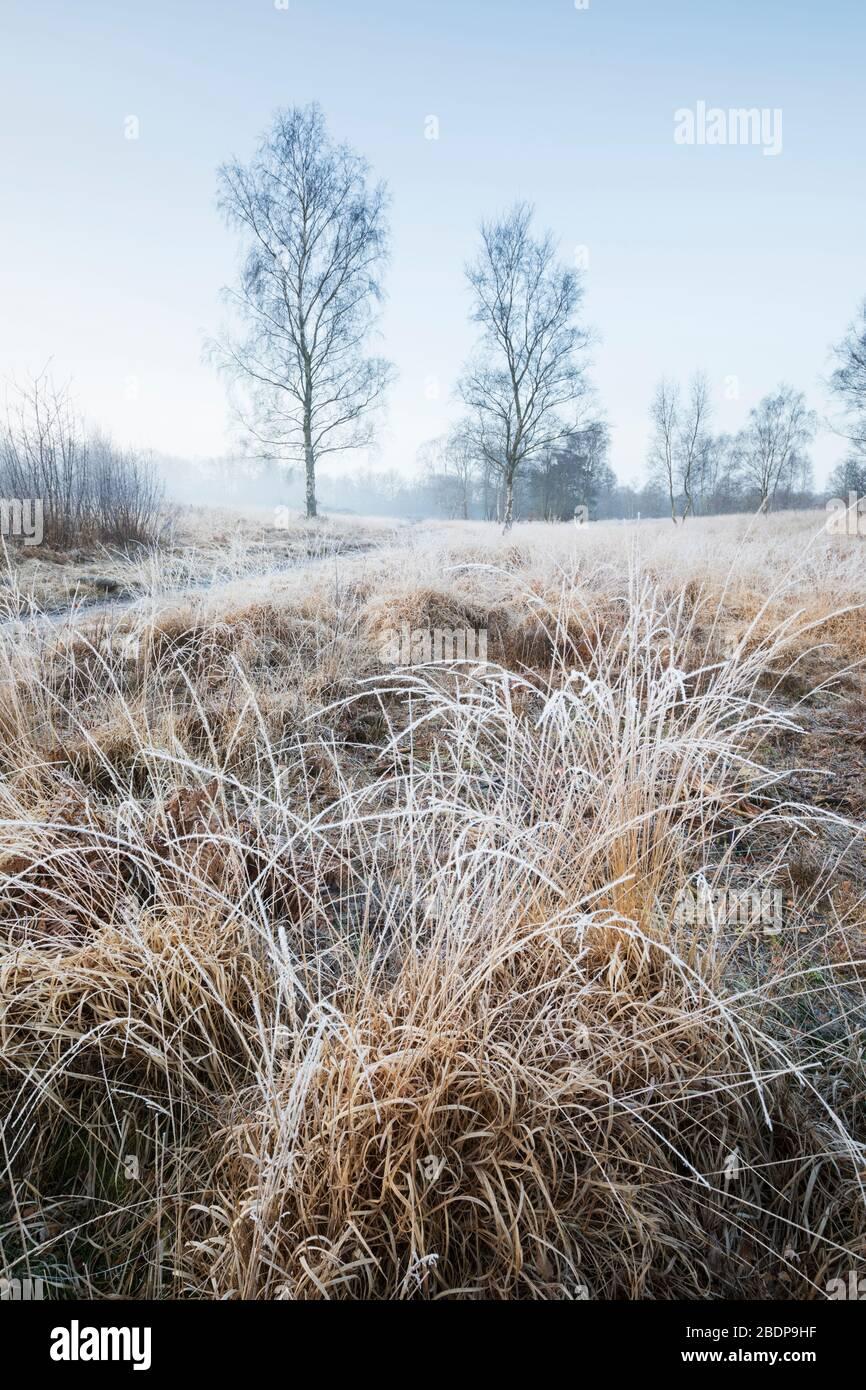 Frosty vista de la mañana de brezales con abedules de plata, Newtown Common, Burghclere, Hampshire, Inglaterra, Reino Unido Foto de stock