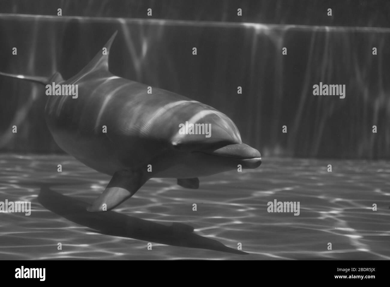 Delfines bajo el agua en el acuario de Génova Foto de stock