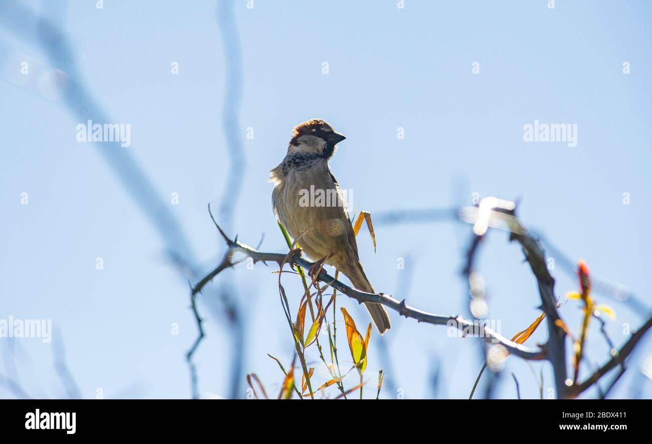Casa Sparrow Passer domesticus encaramado en un arbusto de jardín Reino Unido Foto de stock