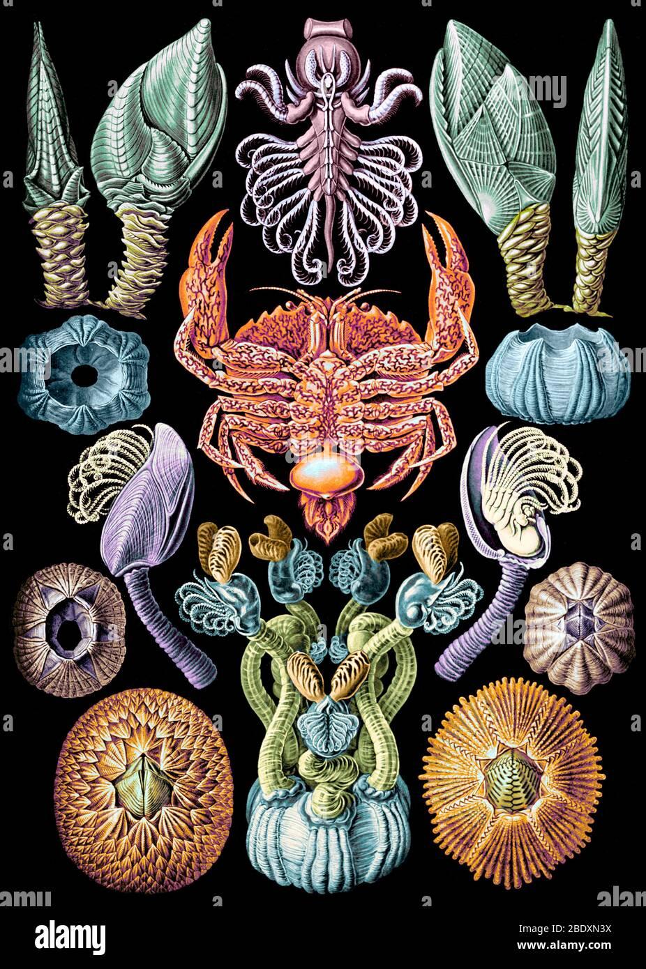 Ernst Haeckel, Cirripedia, percebes Foto de stock