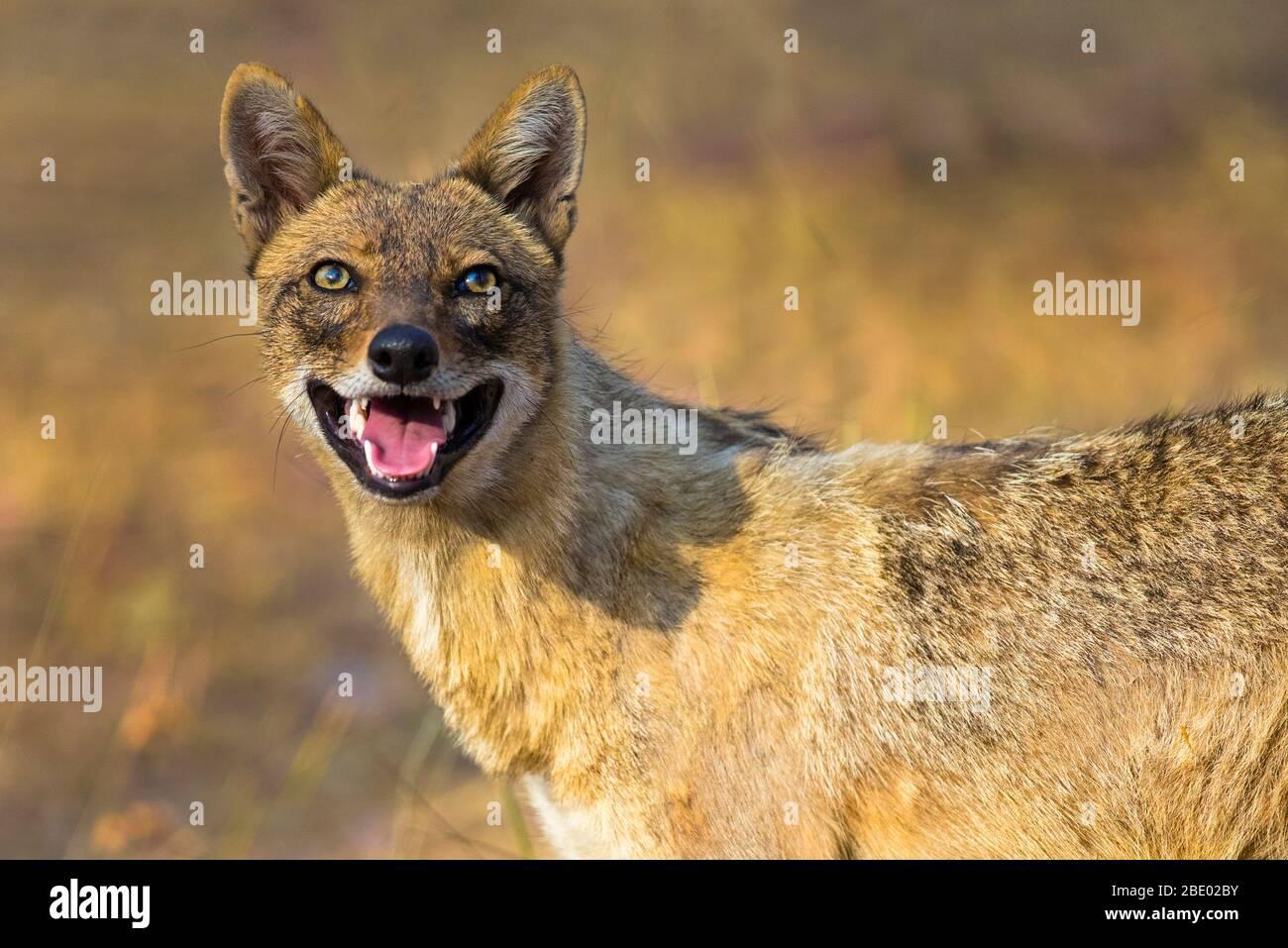 Foto de primer plano del chacal indio (Canis aureus indicus), India Foto de stock